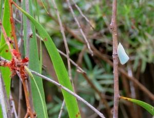 Mango Planthopper - Colgaroides acuminata - 2 Jan 2018