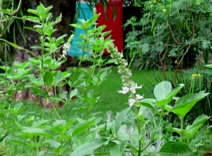Sweet Basil Ocimum sp cropped