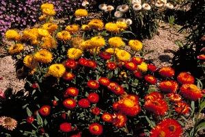 Xerochrysum bracteatum Photo ANPSA