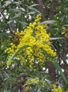 Zig-zag Wattle - Acacia macradenia - flower - Jul09
