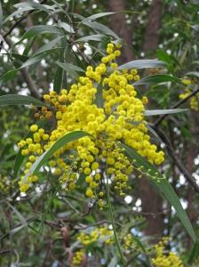 Zig-zag Wattle- Acacia macradenia - flower - Jul09