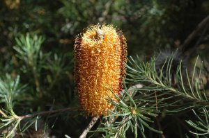 Banksia spinulosa - Fagg M