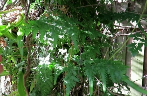 Climbing Maidenhair Fern