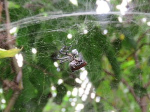 Dome Tent Spider