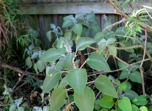 Plectranthus argentatus (Silver Plectranthus)