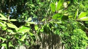 Swamp BanksiaBanksia robur