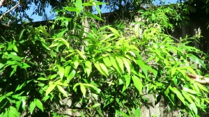 Sweet Morinda Gynochthodes jasminoides