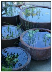 Water plants for containers