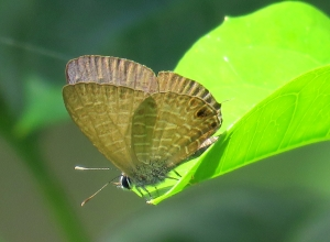 Wattle Blue - Theclinesthes miskini - 11 Jan 2018
