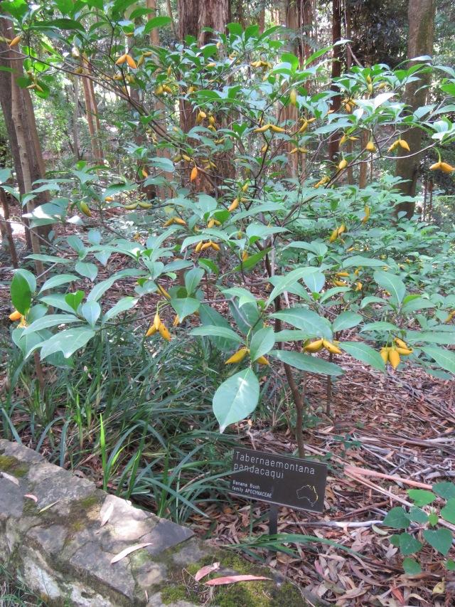 Banana Bush - Tabernaemontana pandacaqui - 3 Apr 2018