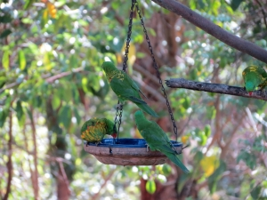 Scaly-breasted Lorikeet - 17 Feb 2014