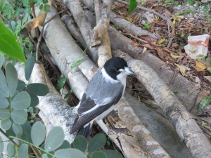 Grey Butcherbird - Cracticus torquatus - Crosby Road Bushcare - 26 May 2018