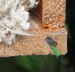 Megachile sp - flight - Feb10