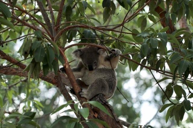 Feb MGSHS Koala