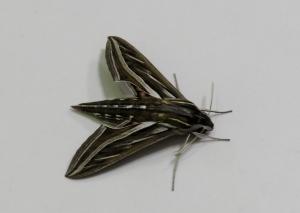 Vine Hawk Moth - Hippotion celerio - 28 Apr 2020