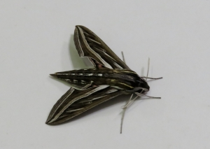 Vine Hawk Moth - Hippotion celerio - 28 Apr 2020